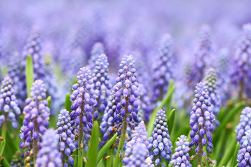 Purple muscari botryoides