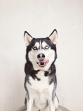 hungry husky dog