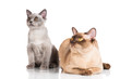 burmese cat with a kitten