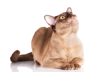 burmese cat looking up