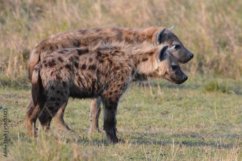 Papiers peints Hyène Hyänen im Doppelpack