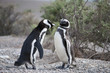 Magellanic penguins have an altercation