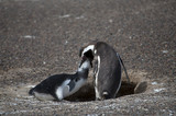 Penguin mother feeds her baby