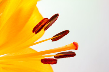 Close up image of orange lily