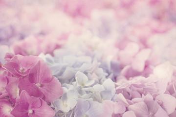 Kwiaty różowe hortensji