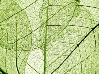 green leaf texture - detail