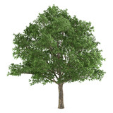 Tree isolated. Quercus robur