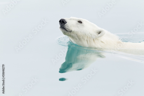 Foto op Canvas Poolcirkel Polar Bear