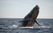 Powerful southern right whale jumping