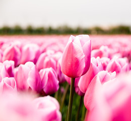 pink tulip in a tulip field