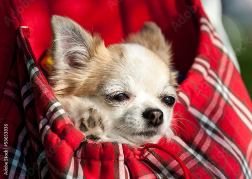 sweet chihuahua dog inside red bag for pet carrier close-up