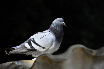 Pigeon  on a Marble Fountain