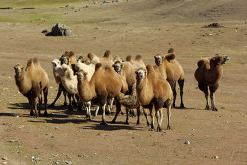 Camel caravan on the Meadow