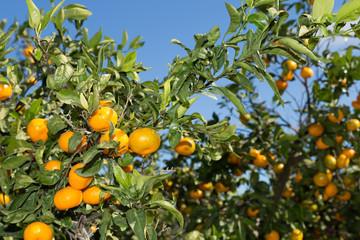 Mandarinos in Valencia