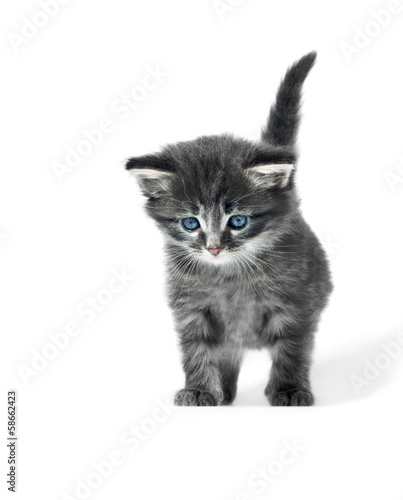 little cute kitten isolated