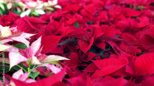 Poinsettia Christmas Plants Dolly