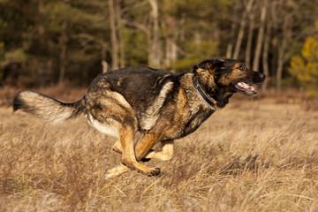 Rennender Schäferhund