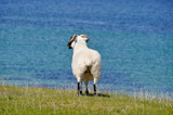 Sheep near the sea, Mannin Bay (Ireland)