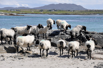 Flock of sheep near the sea (Ireland)