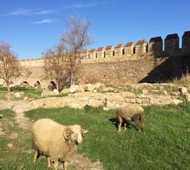 Kale içinde koyunlar