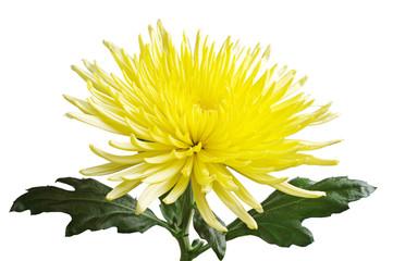 Yellow chrysanthemum closeup
