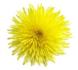 Chrysanthemum closeup