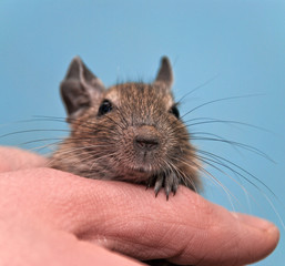 Degu sitting in a hand