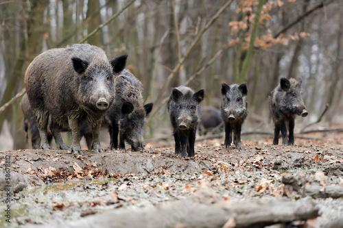 Wild boar - 58678812
