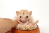Cute hedgehog hand, African pygmy hedgehog