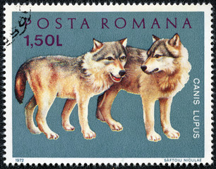 stamp printed by Romania, show wolf