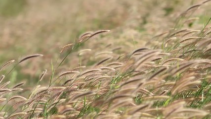 Grass flowers in the wind