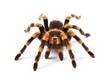 Mexican redknee tarantula (Brachypelma smithi), spider female - 58689242