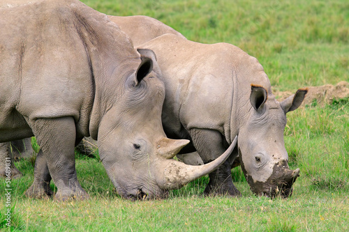 White rhinoceros feeding, Lake Nakuru