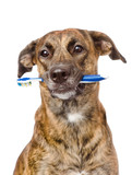 mixed breed dog with a toothbrush. isolated on white background