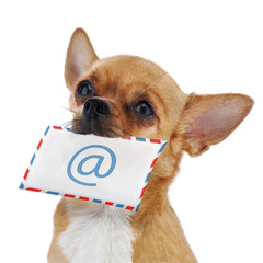 Red chihuahua dog with post envelope and icon e-male isolated on