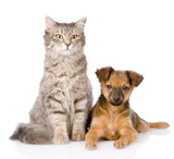 mixed bred puppy and gray cat together. isolated on white  poster