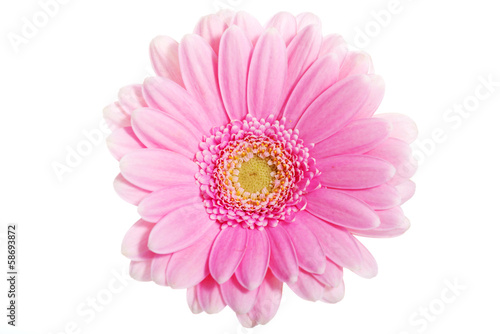 Up front view on pink gerbera flower.
