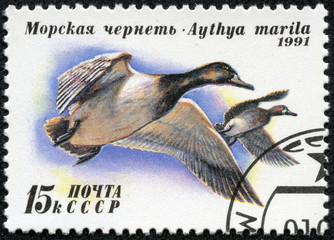 stamp printed in USSR (Russia) shows Greater Scaup
