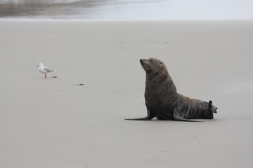 Mew i uchatka nowozelandzka
