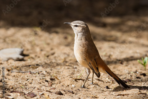 Kalahari scrub robin walking on sand in the sun