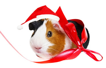guinea pig  with a red santa cap
