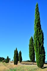cyprès dans la campagne toscane