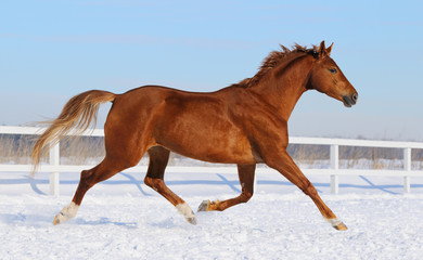 Hanoverian horse running on snow manege