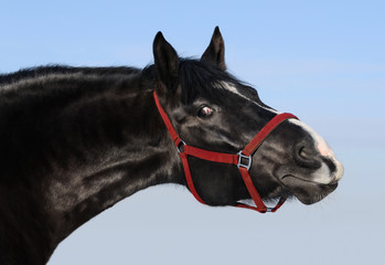 Portrait of black mare