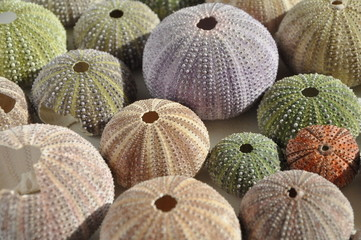 colourfull sea urchin shells