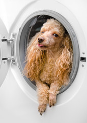 washing machine and   dog in clothes (delicate wash
