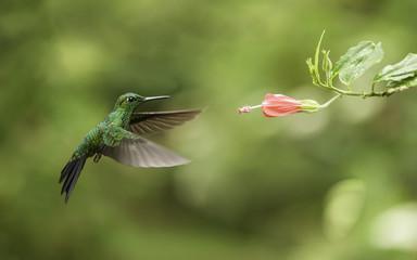 Hummingbird-Green Breasted Mango