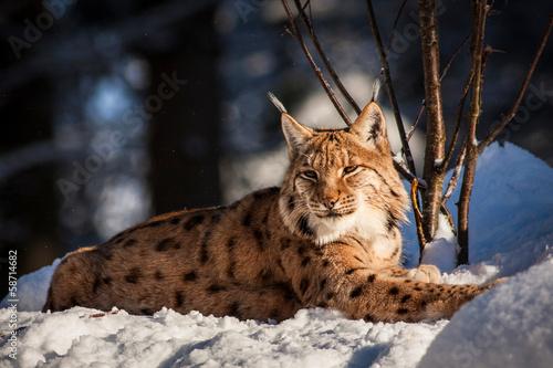 Foto op Plexiglas Lynx lynx