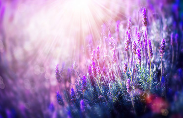 Lavender Flowers Field. Growing and Blooming Lavender © Subbotina Anna