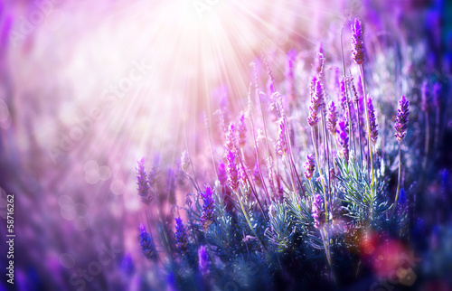 Lavender Flowers Field. Growing and Blooming Lavender - 58716262